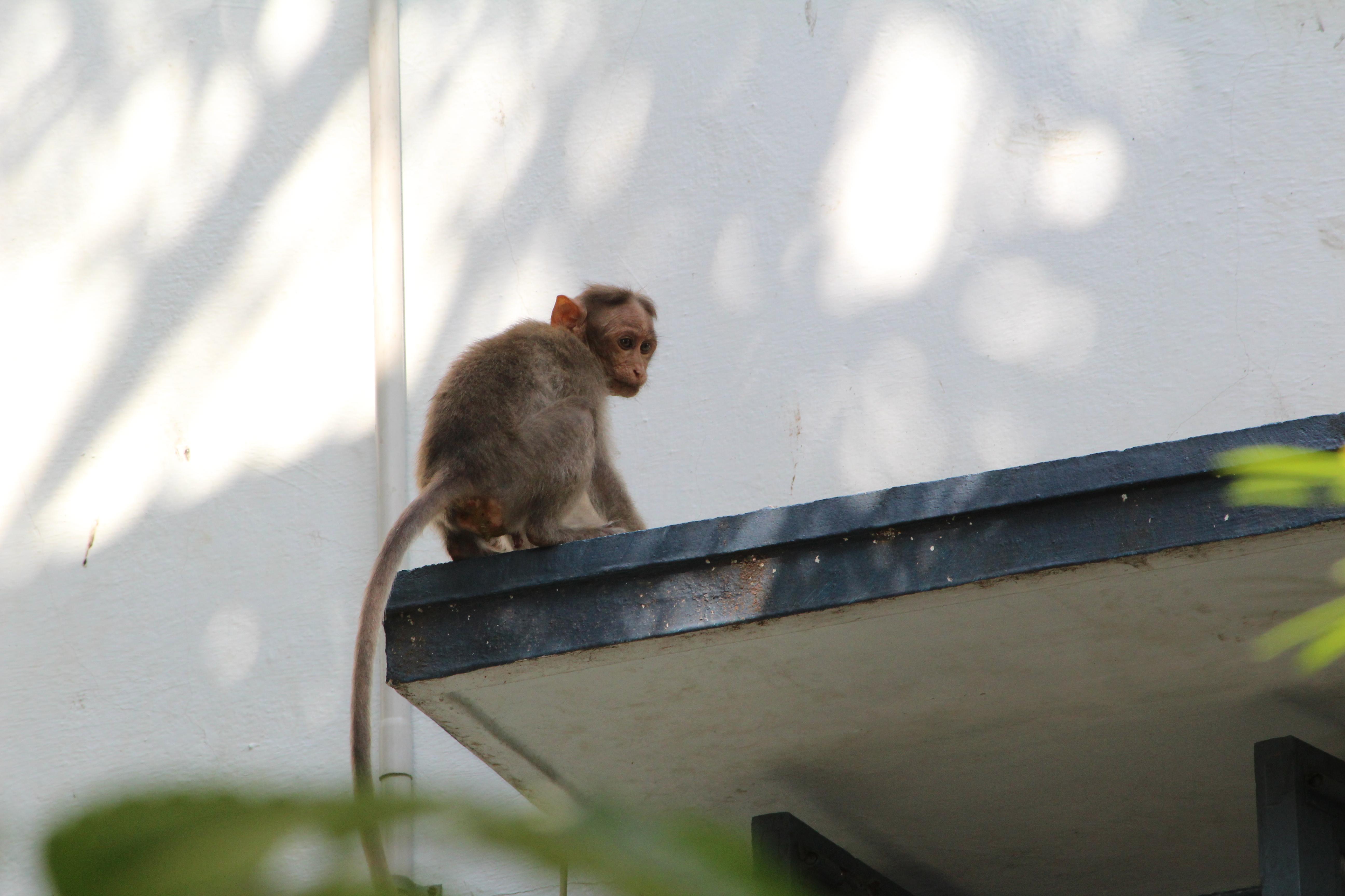 IIT Madras Wikipedia: File:Monkey In Iitm.jpg