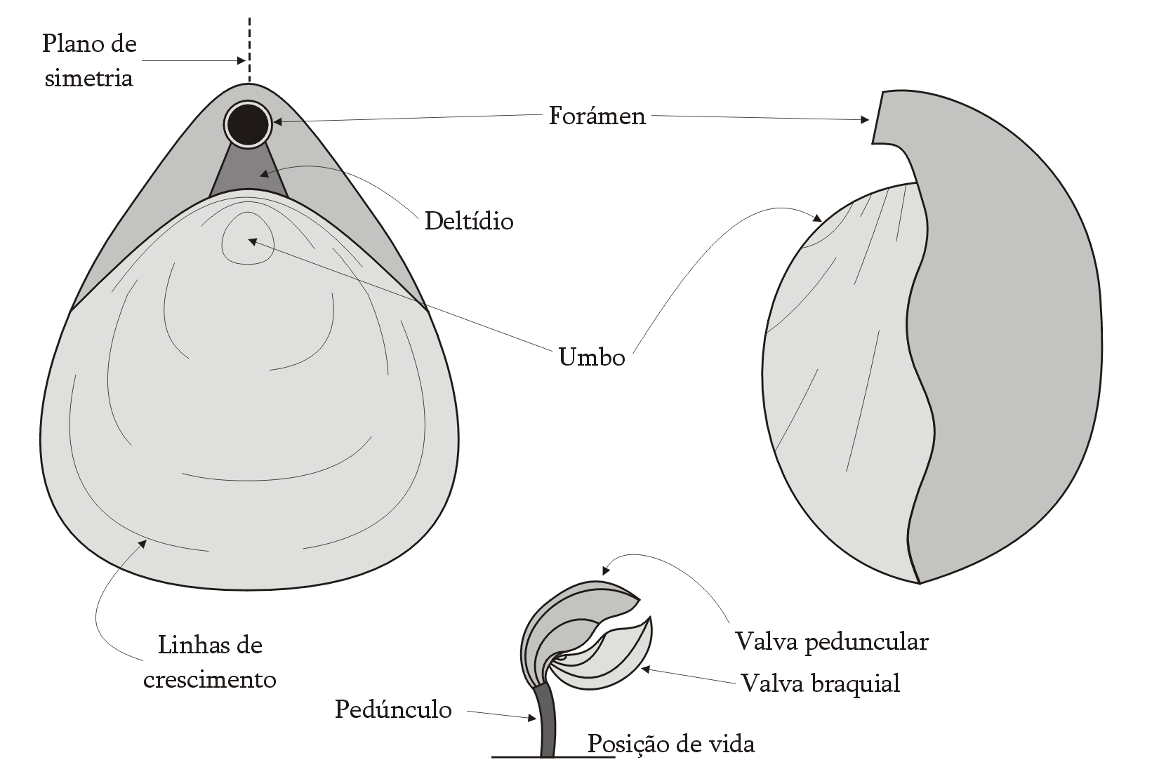 lingula brachiopod diagram