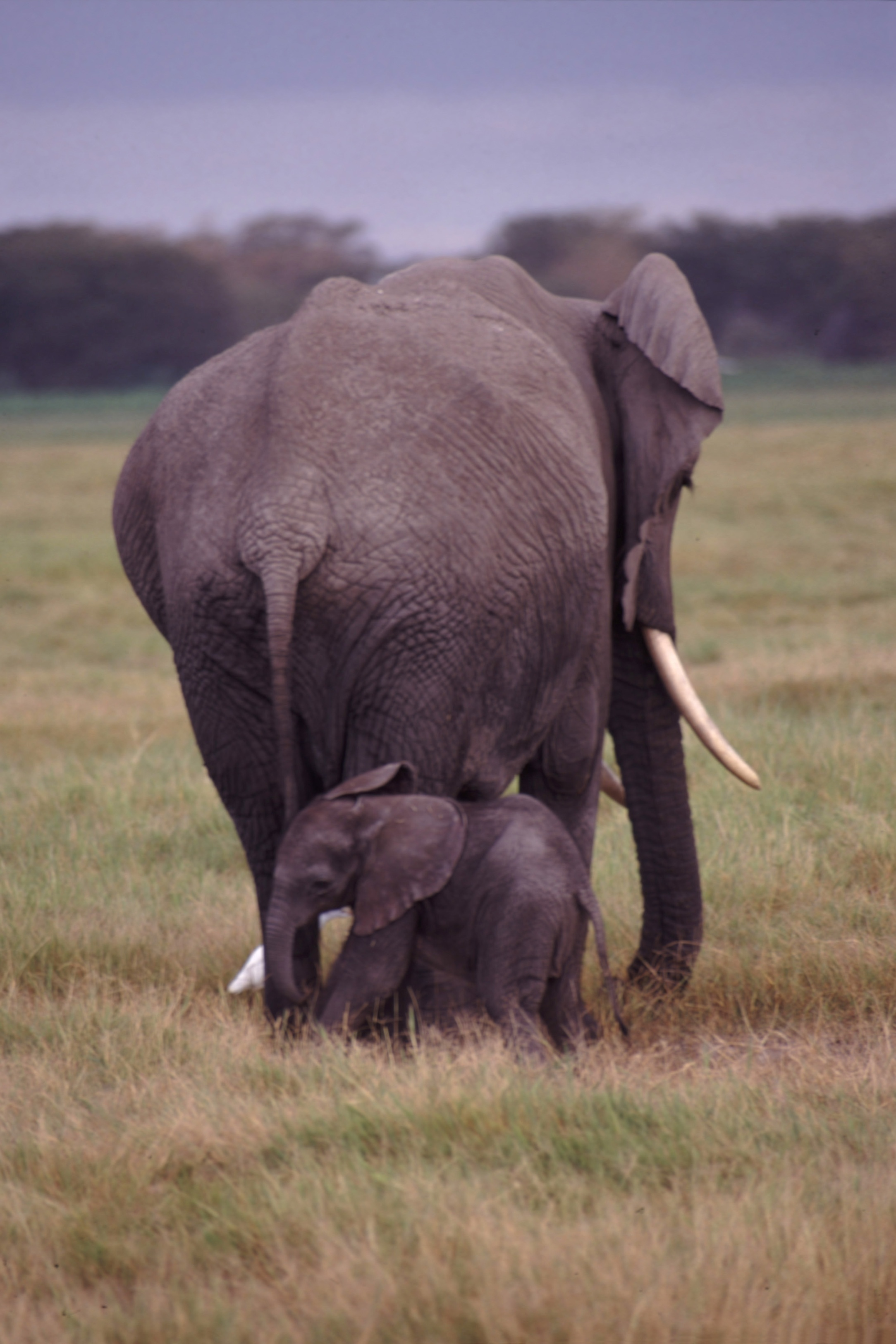Description mother and baby elephant jpg