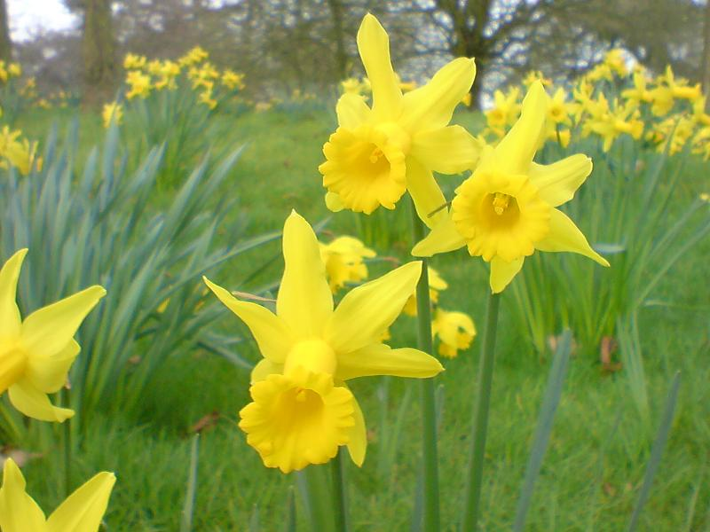 Narcissus pseudonarcissusKew2