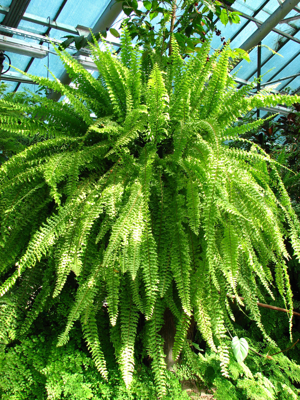 File nephrolepis exaltata in a greenhouse 01 jpg - Nephrolepis exaltata ...