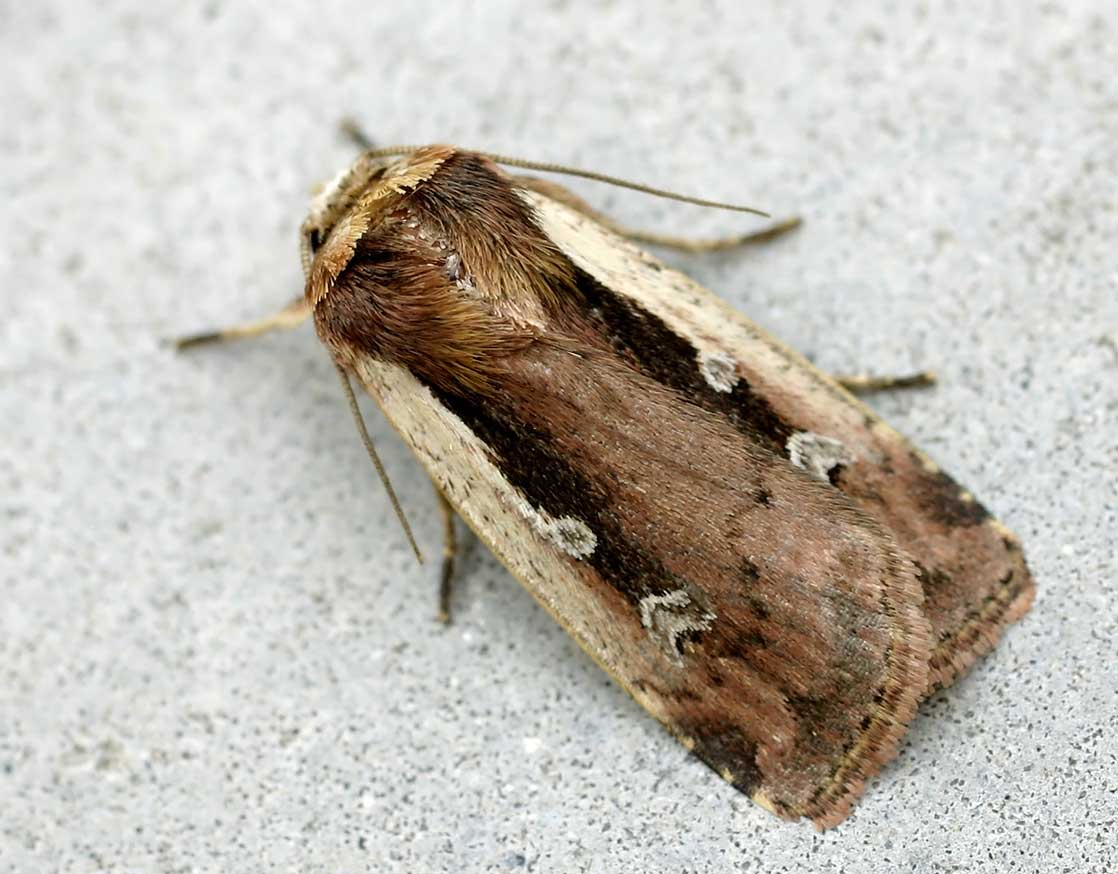 Depiction of Noctuidae