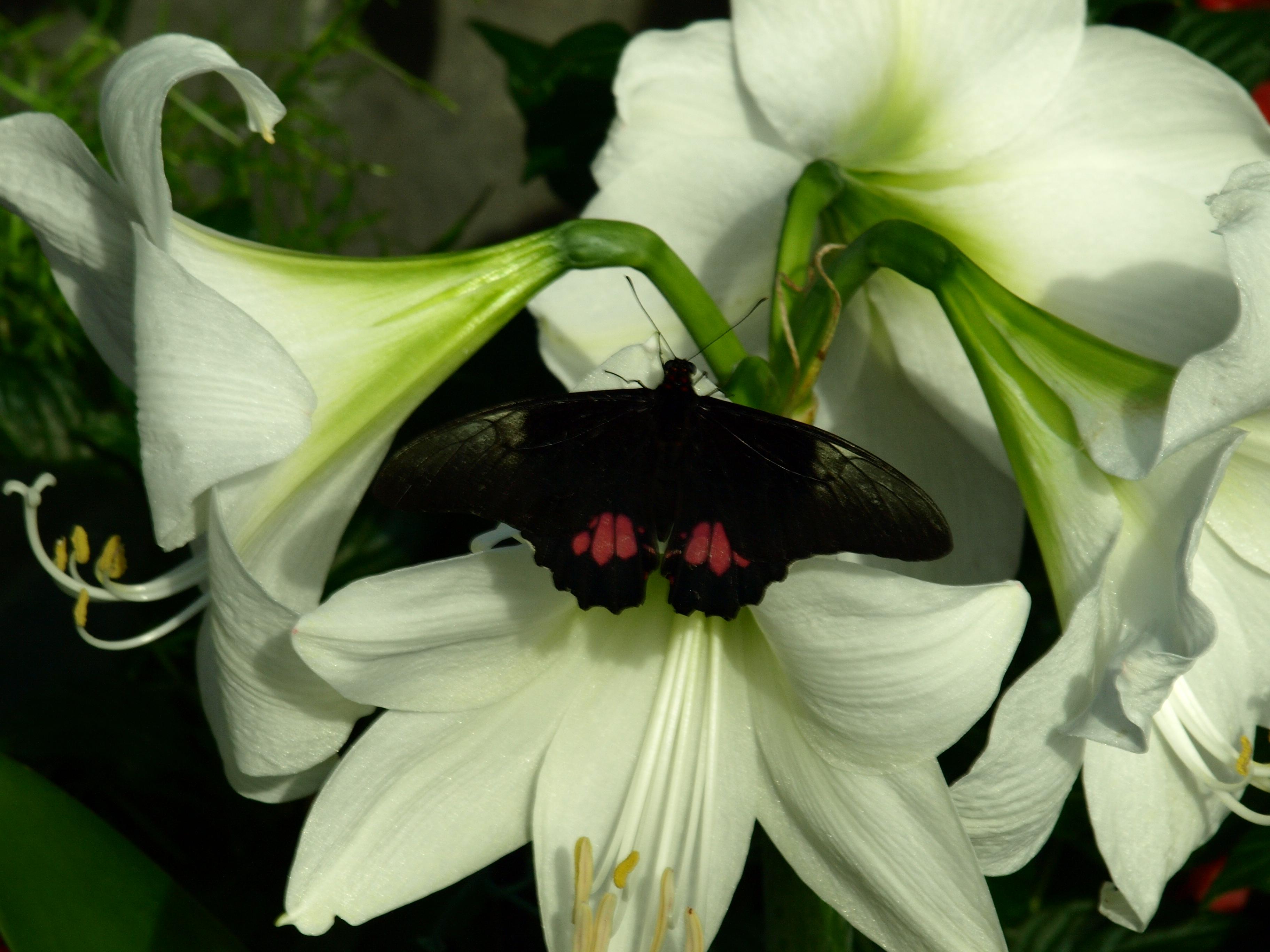 Weißlilie