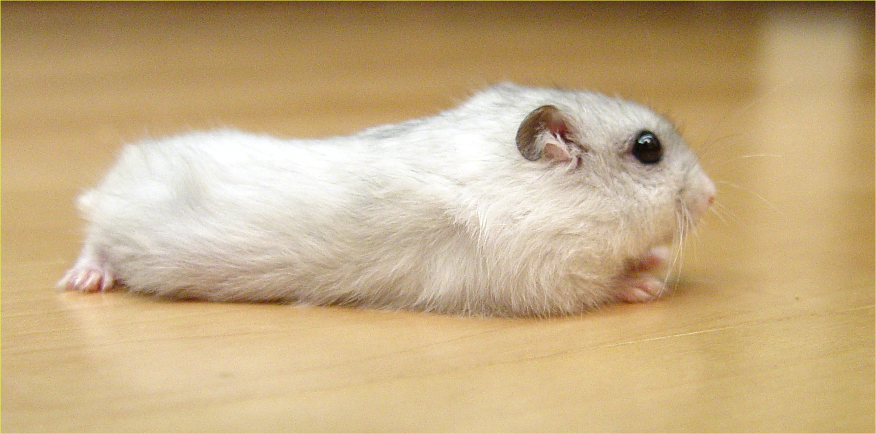 Descrizione Pearl Winter White Russian Dwarf Hamster - Side.jpg