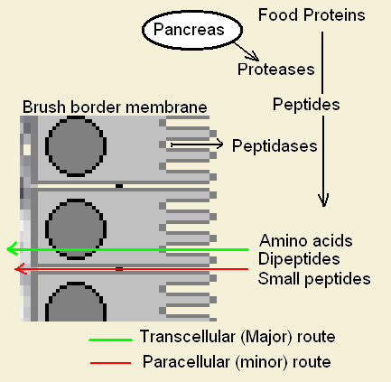file:protein digestion png