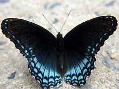 Red-spotted purple, Limenitis arthemis astyanax