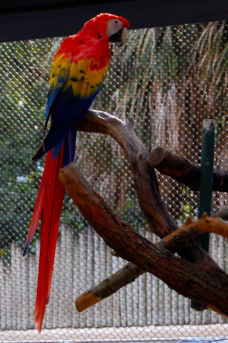 File:Scarlet Macaw (Ara Macao) -full Length-1c.jpg