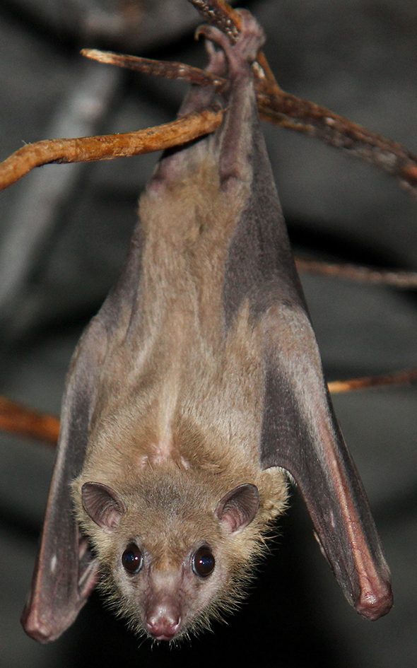 The average adult size of a Egyptian fruit bat is  (0' 7