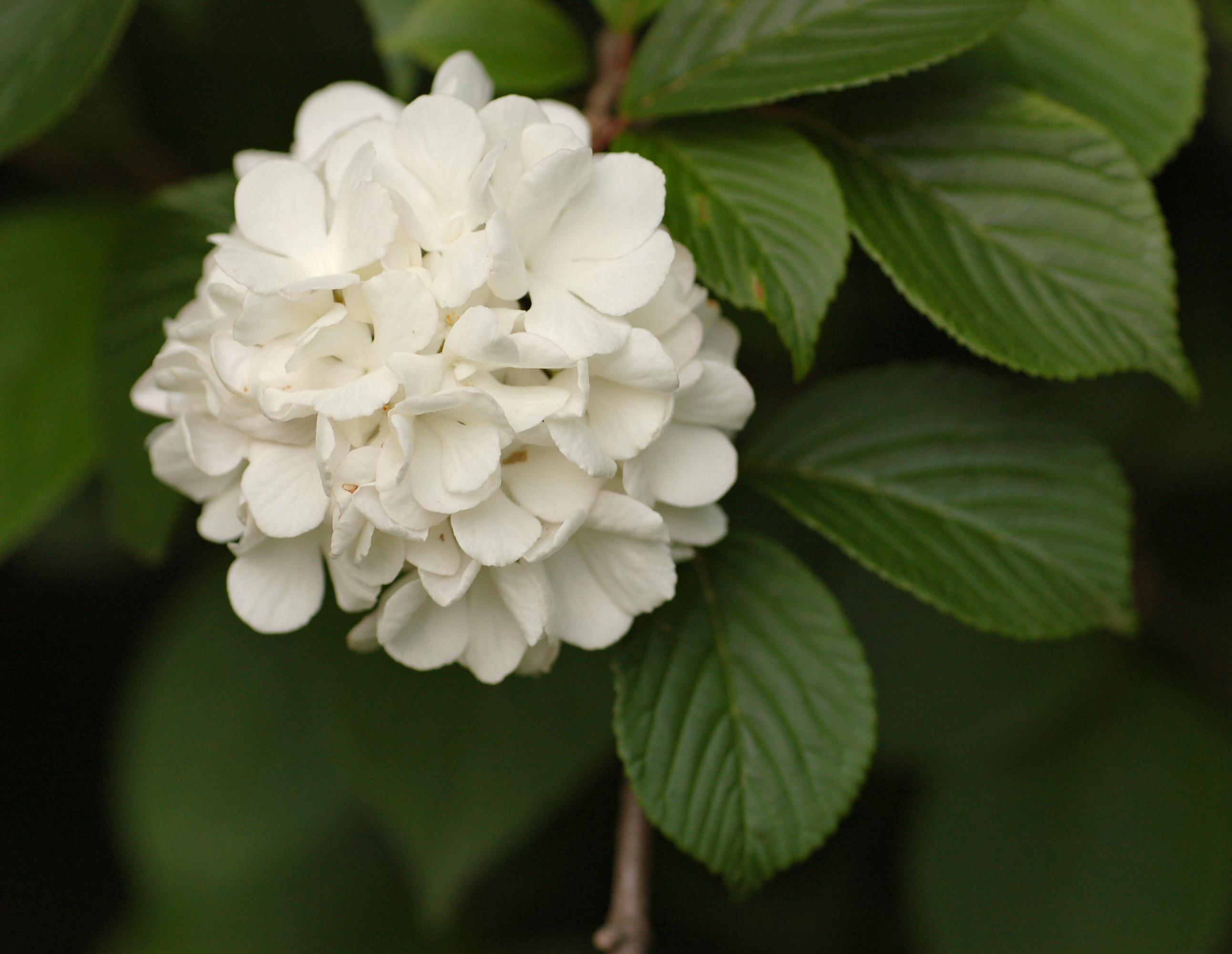 Filesnowball viburnum viburnum plicatum flower 4g wikimedia filesnowball viburnum viburnum plicatum flower 4g mightylinksfo