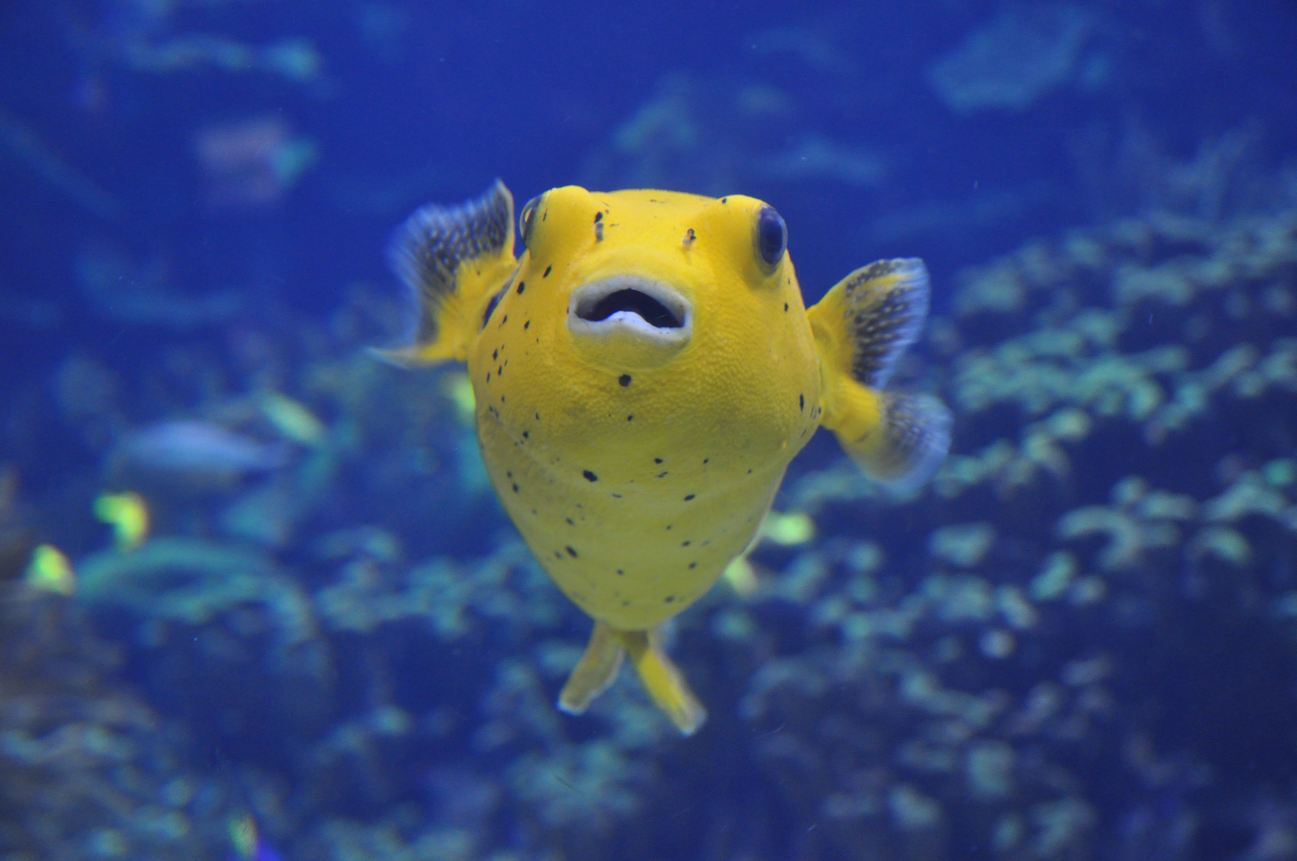 File spotted pufferfish arothron meleagris 01 jpg for Types of puffer fish