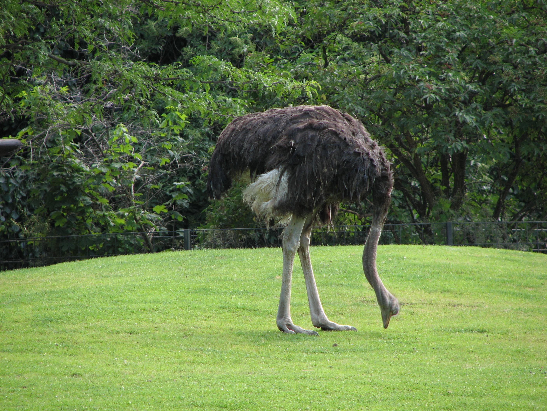 Рацион для страуса в домашних условиях