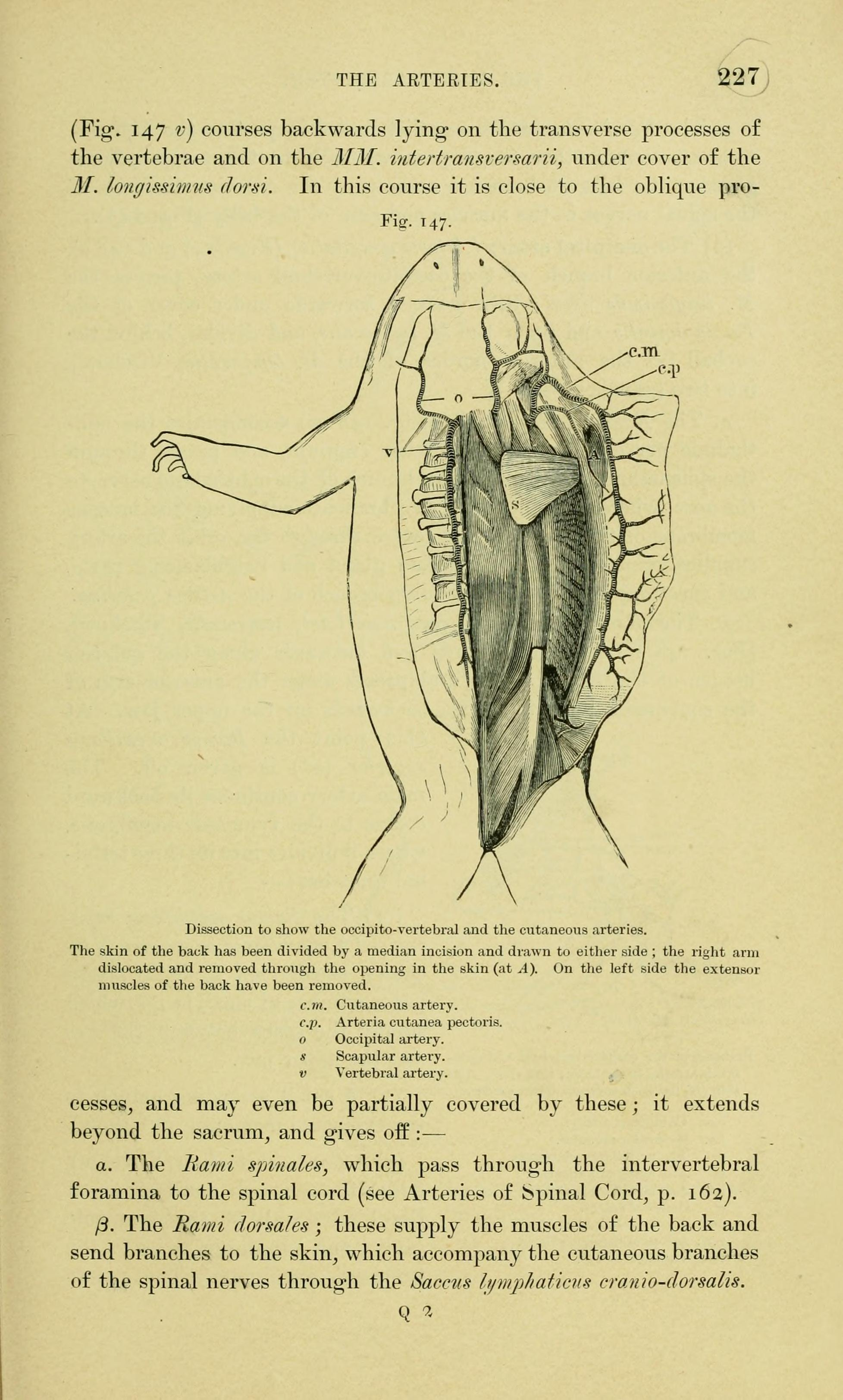 Filethe Anatomy Of The Frog Page 227 Fig 147 Bhl7555009g