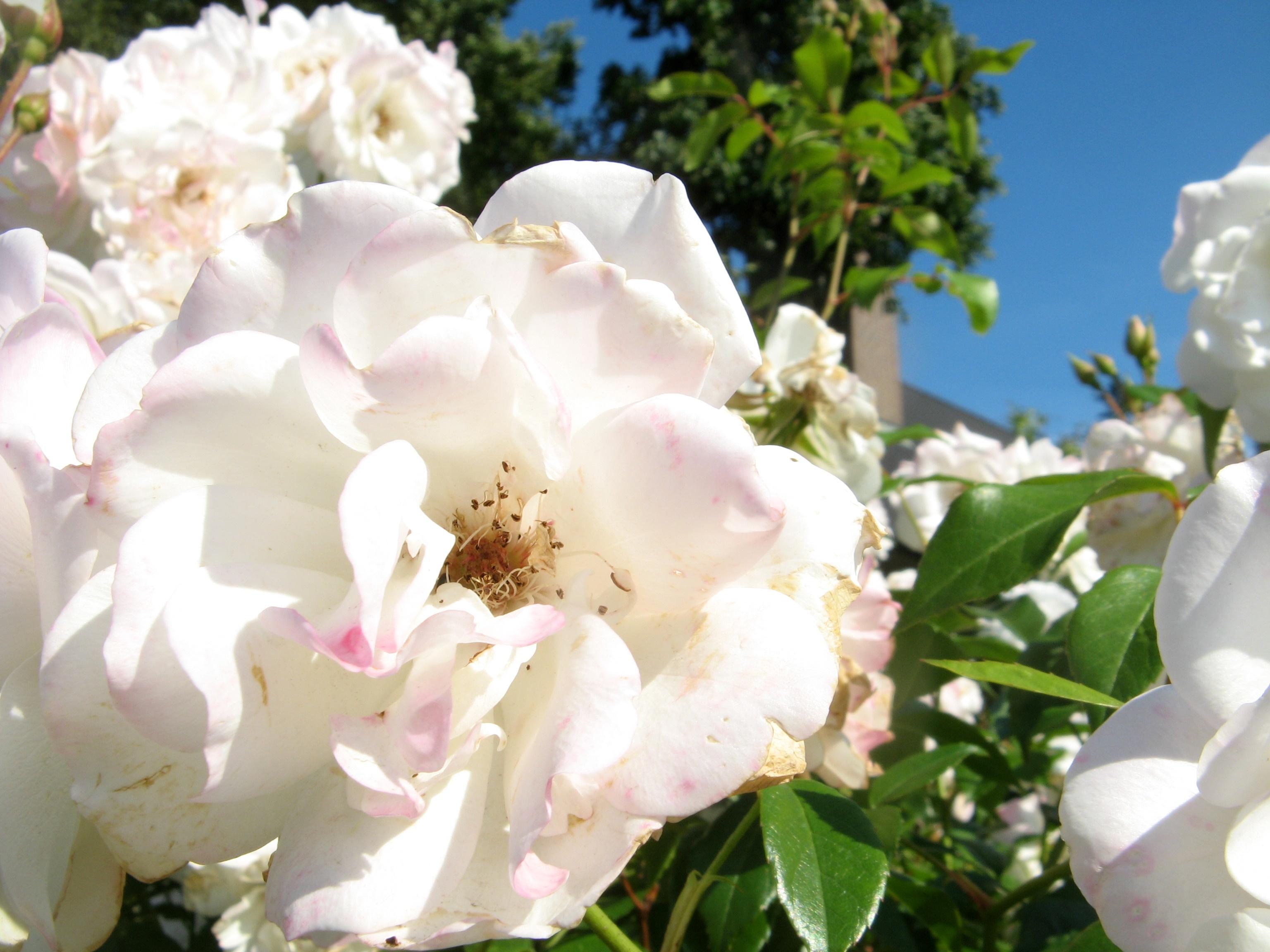 rosarium uetersen rose rosarium uetersen climbing rose. Black Bedroom Furniture Sets. Home Design Ideas