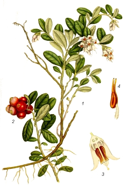 Vaccinium vitis-idaea L. (Lingonberries) - 19th century botanical illustration