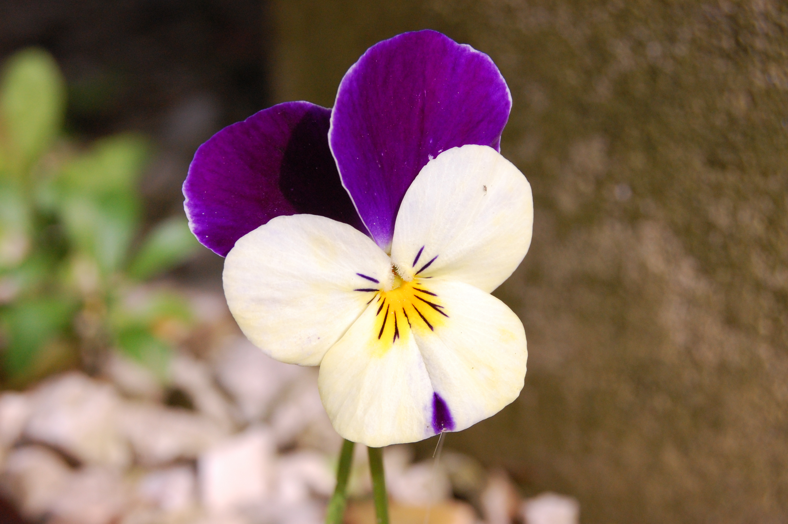 File viola wikimedia commons for Viola cornuta inverno