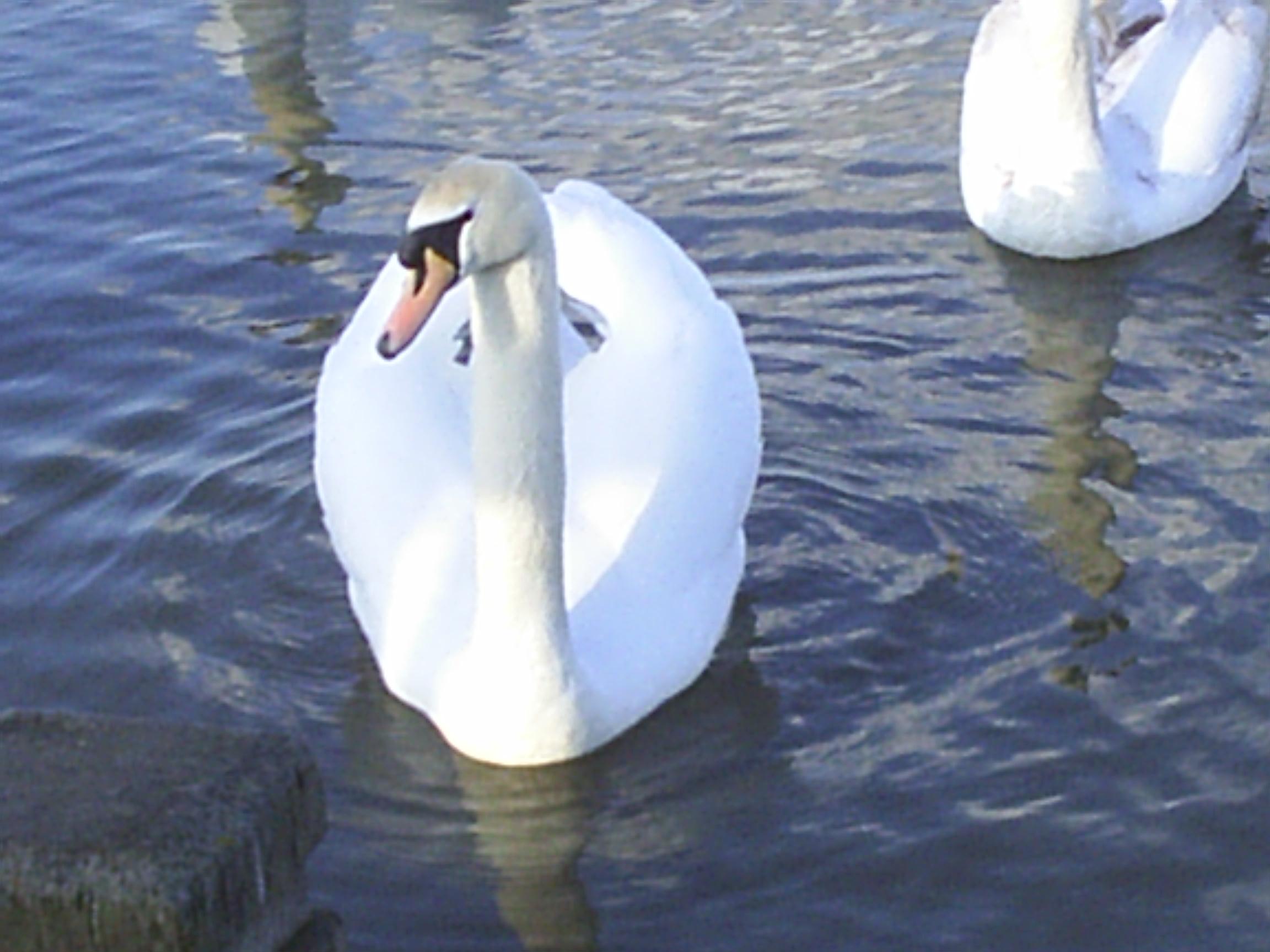 English: Swan.