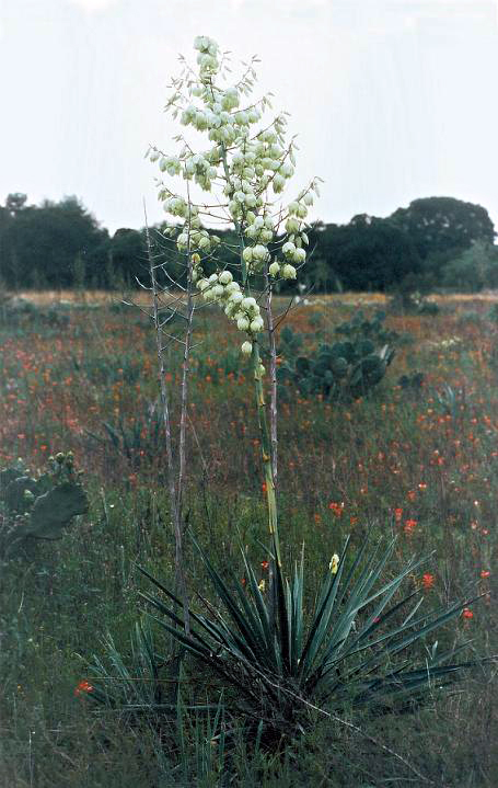 yucca coahuilensis wikipedia
