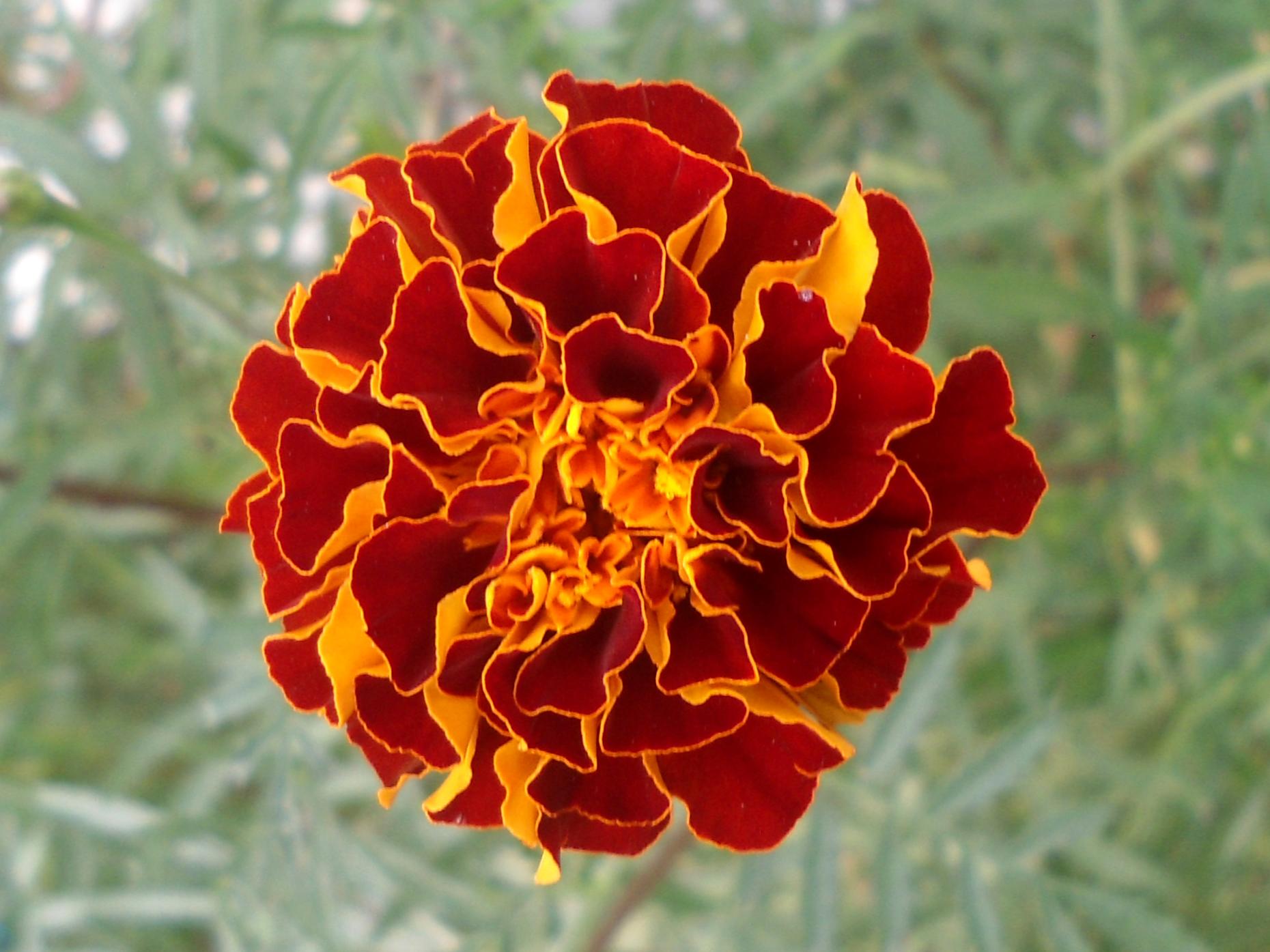 File Ta es patula hybrid marigold at Bhadrachalam 04 JPG Wikimedia mons