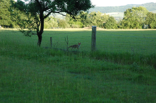 A fox near Tiddesley Wood - geograph.org.uk - 992545
