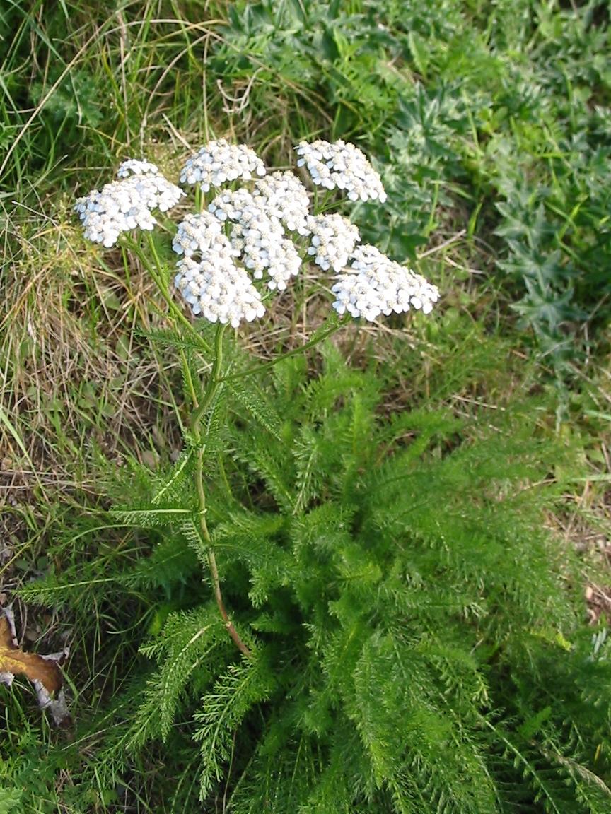 yarrow flower - photo #35