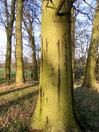 Acute oak decline fig01.jpg