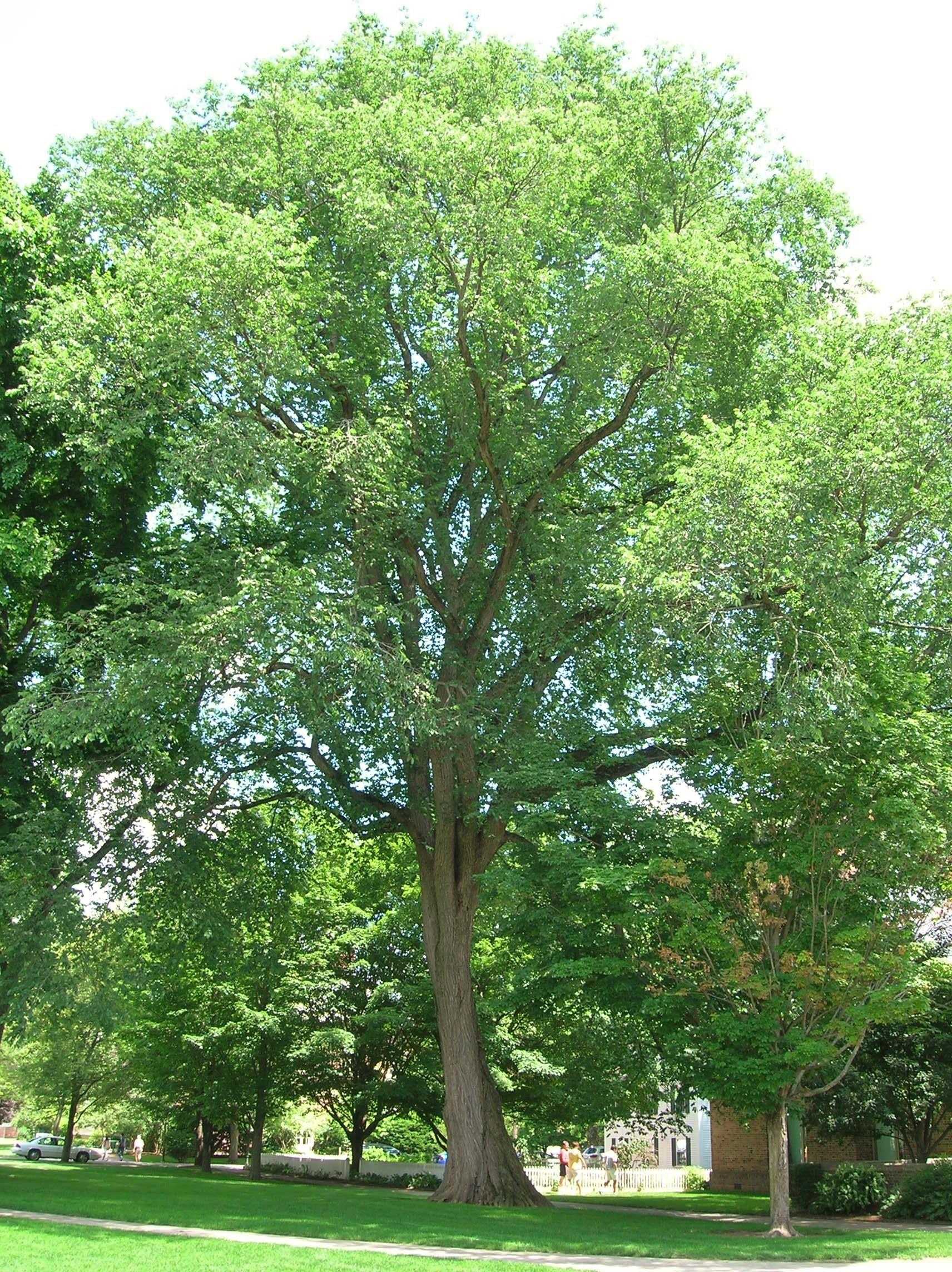 File american elm tree deerfield academy old deerfield for American elm