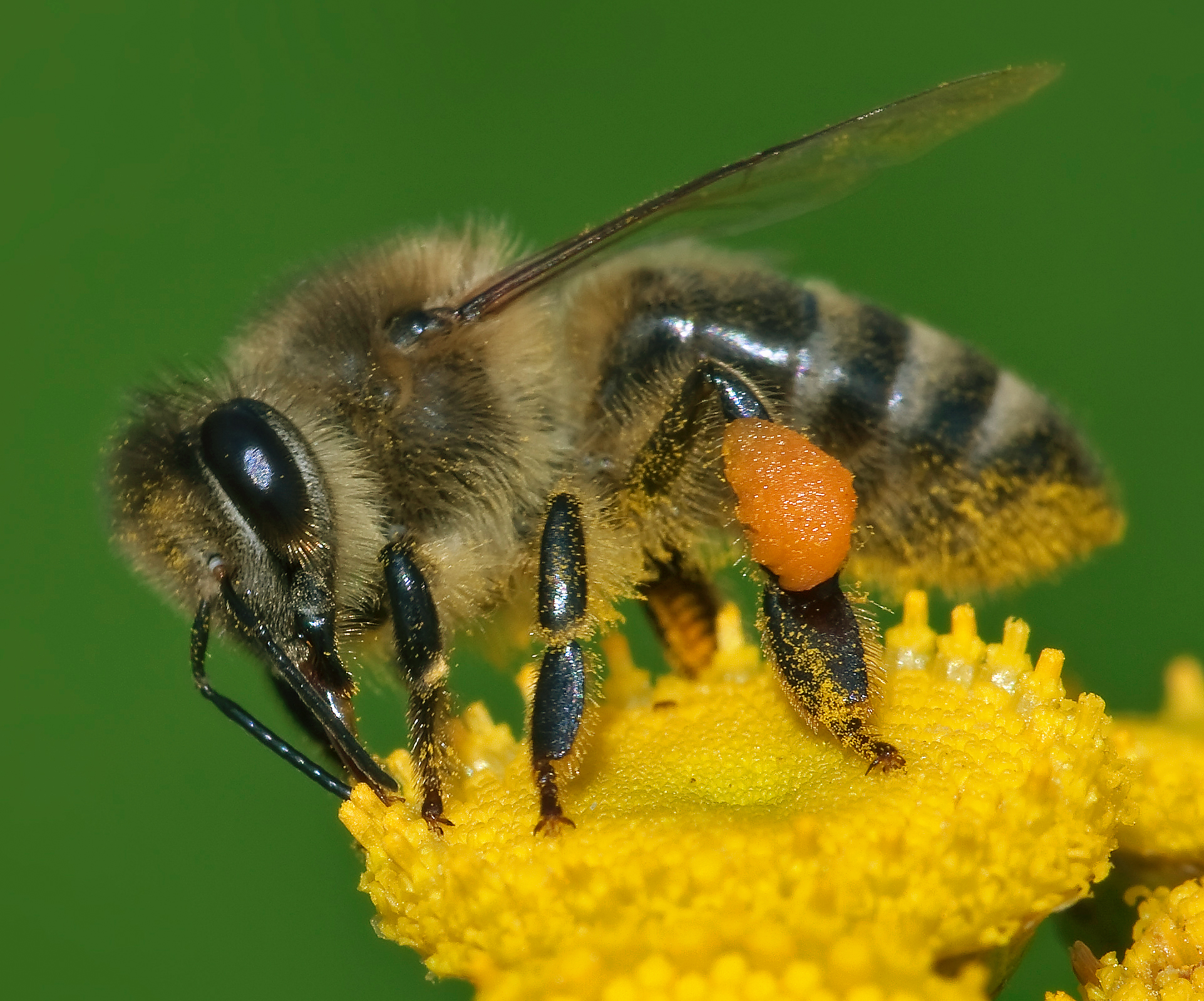 Image result for images of honey bees with pollen