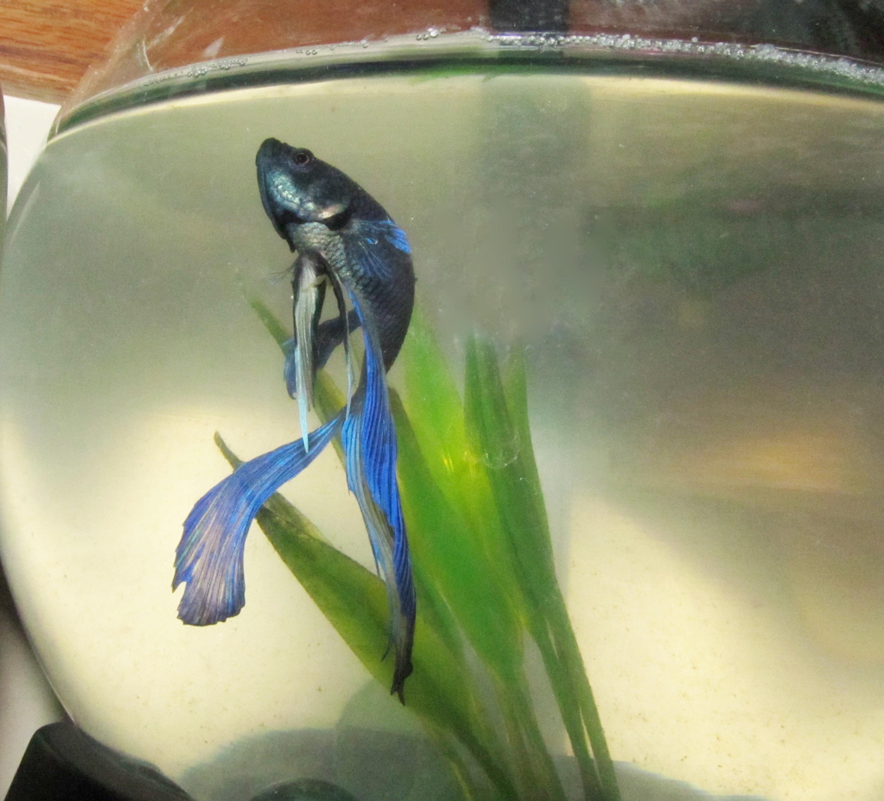 File betta splendens wikimedia commons for Betta fish life expectancy