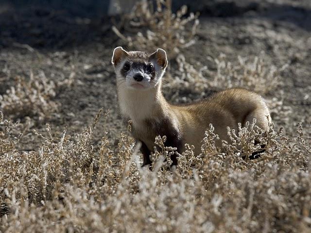 Black-footed ferret (5897219670)