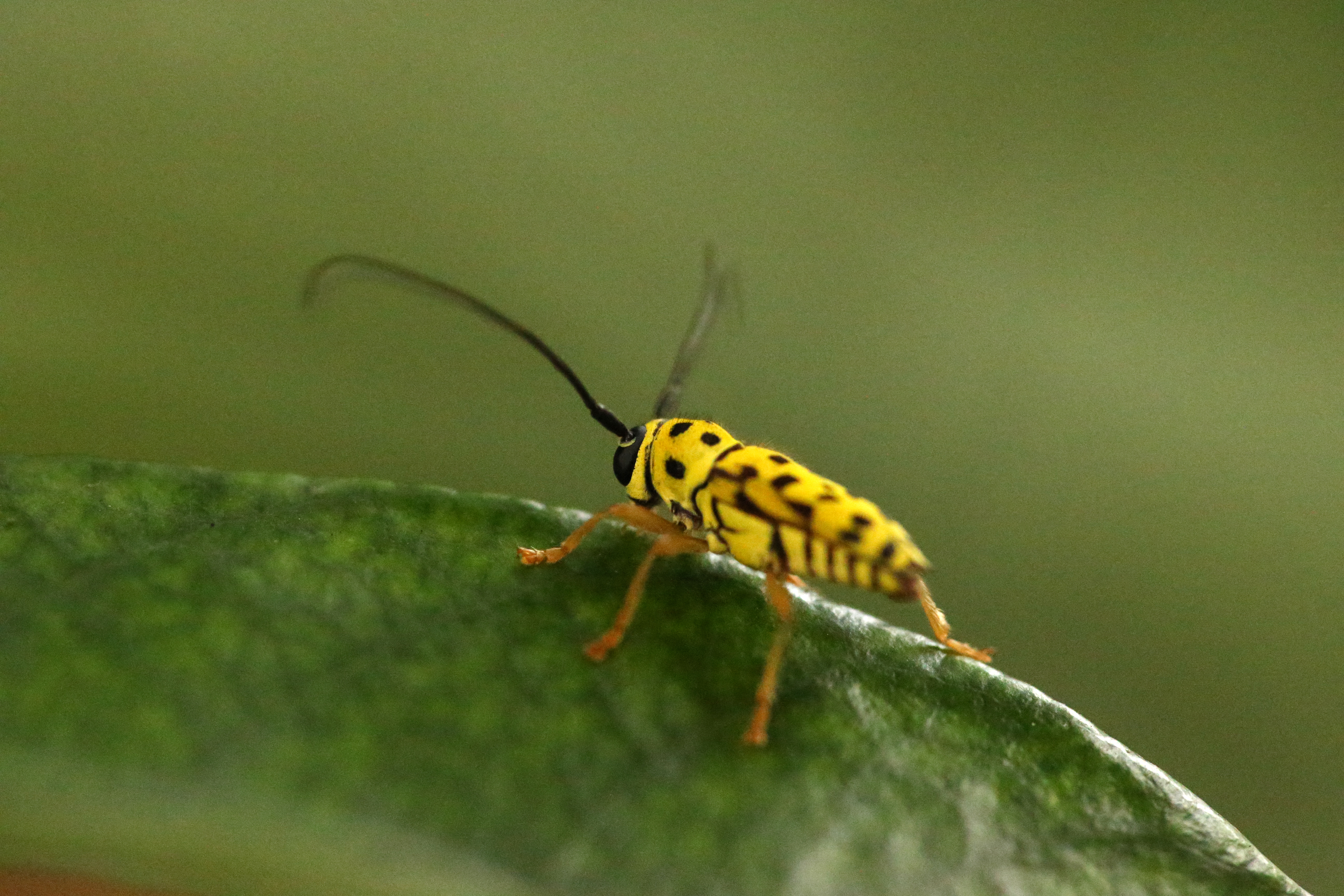 asian long horn beetle