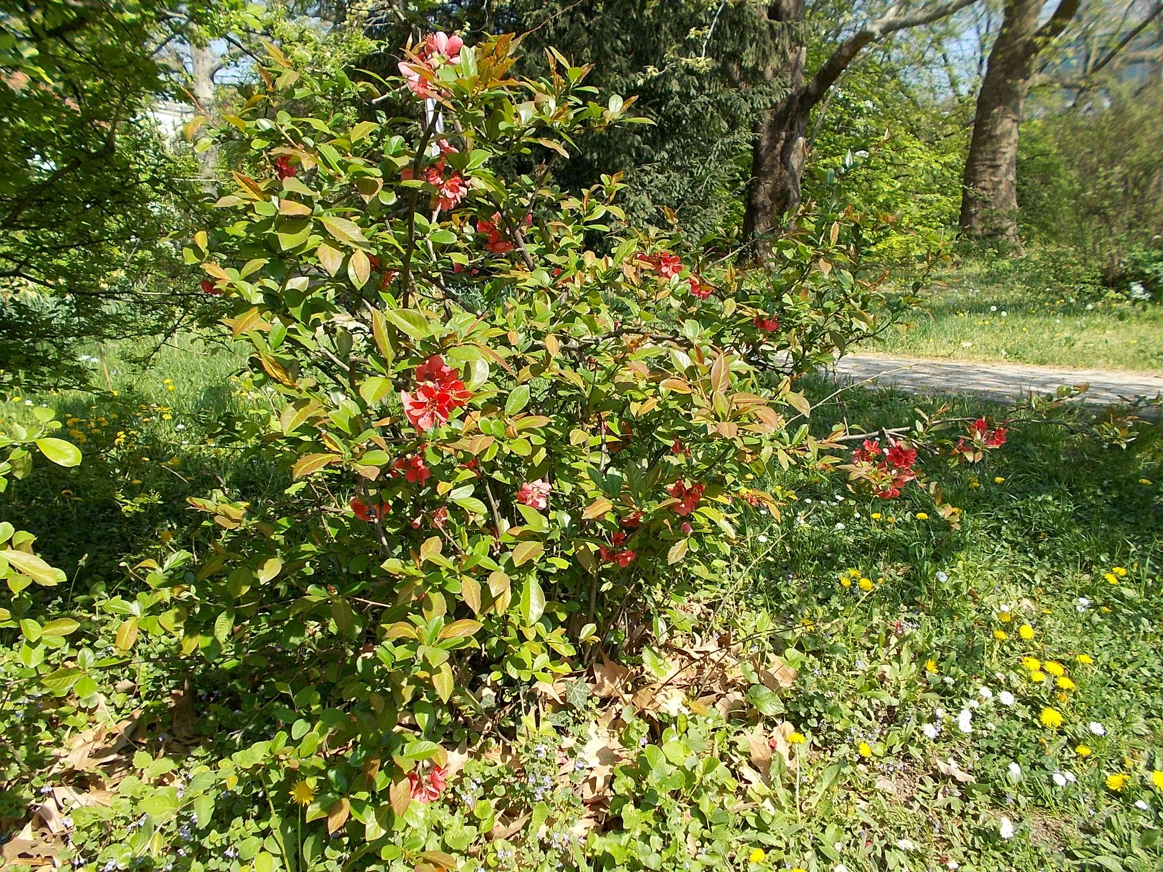 File Buda Arboreta Upper Garden Japanese Fruit Chaenomeles Japonica Budapest District Xi Jpg Wikimedia Commons