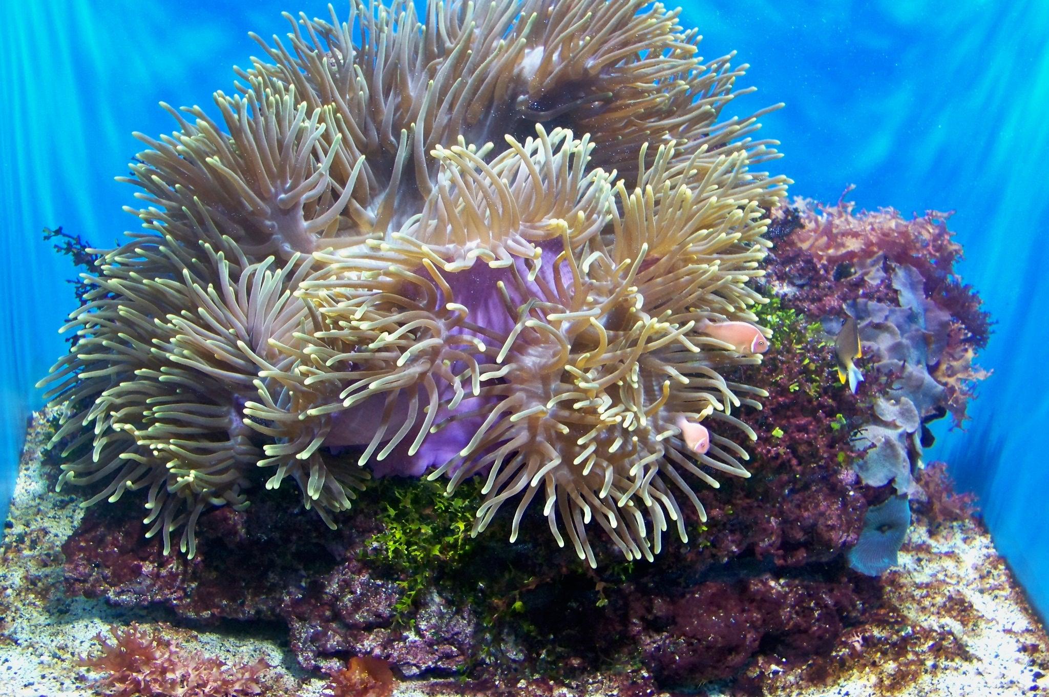 Coral Aquarium : Description CAS-Aquarium-Coral and Clownfish 2.JPG
