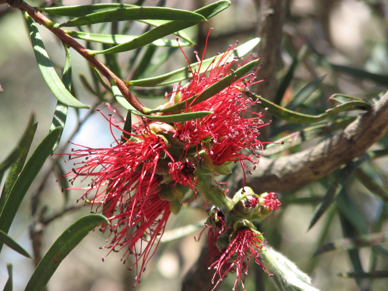 Image result for callistemon linearis tree