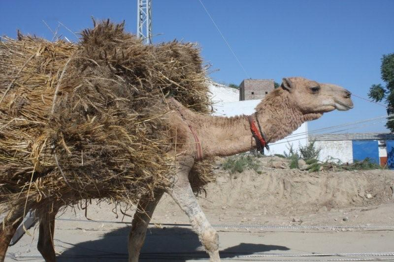camel carrying straw. photo by bart de goeij