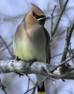 Description de l'image Cedarwaxwing.jpg.