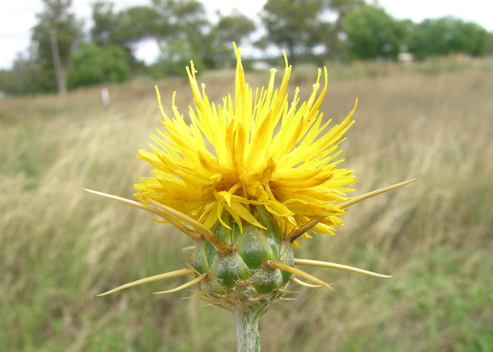 Yellow Starthistle Poultrydvm Toxic Plants A Z