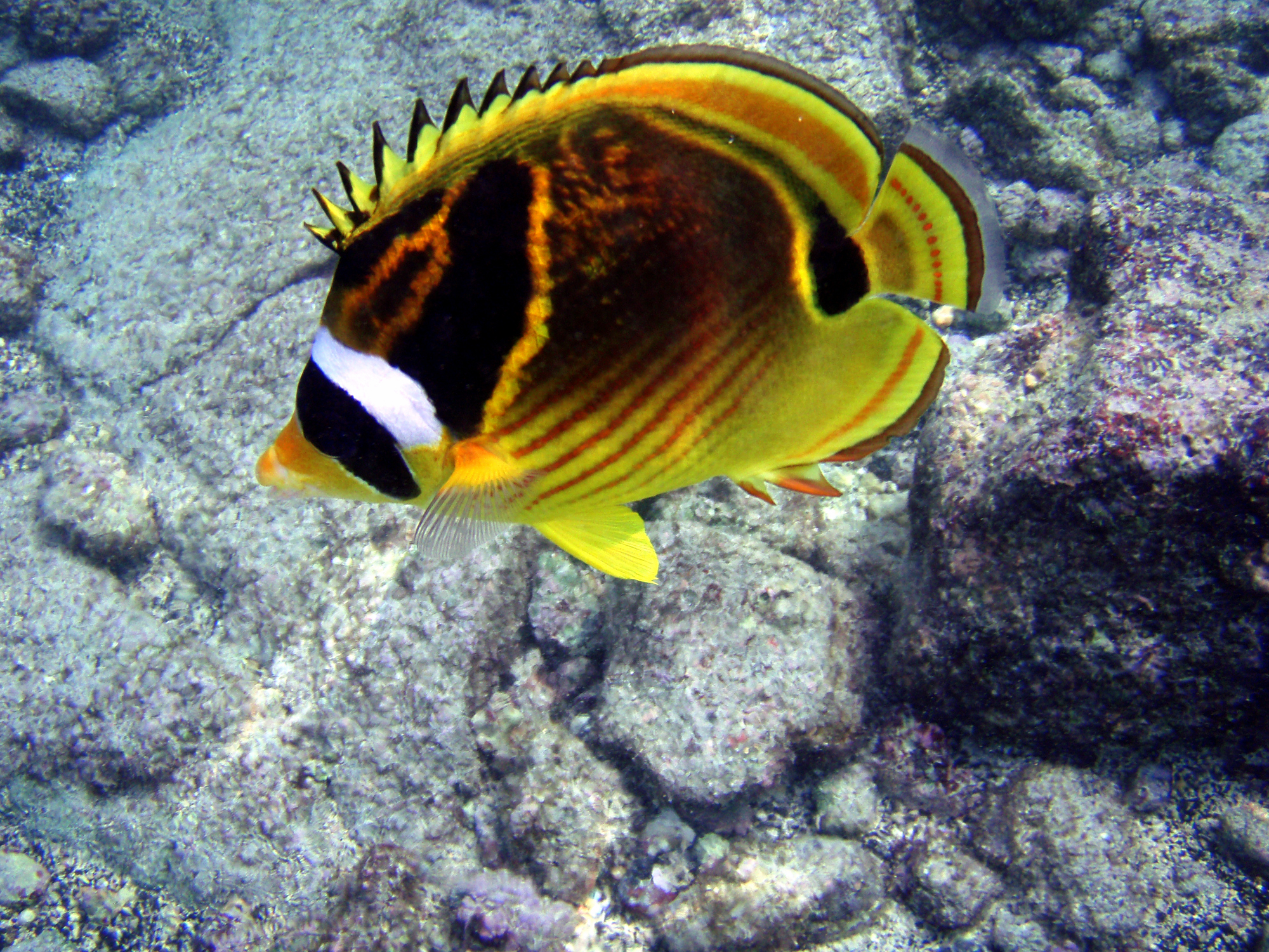 Butterflyfish species for Saltwater reef fish