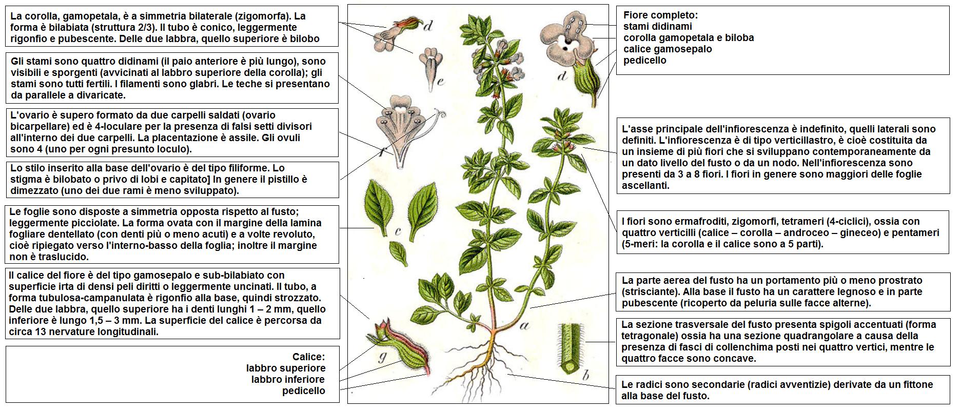 Fiori Zigomorfi.File Clinopodium Acinos Sturm Desc Png Wikimedia Commons