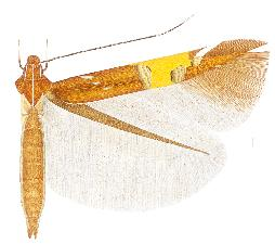 <i>Cosmopterix gemmiferella</i> Species of moth