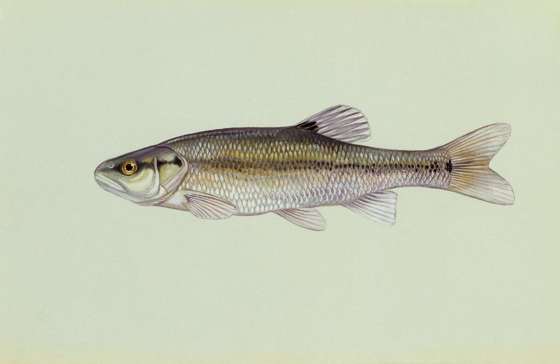 File creekchub fish wikimedia commons for Us fish and wildlife service jobs