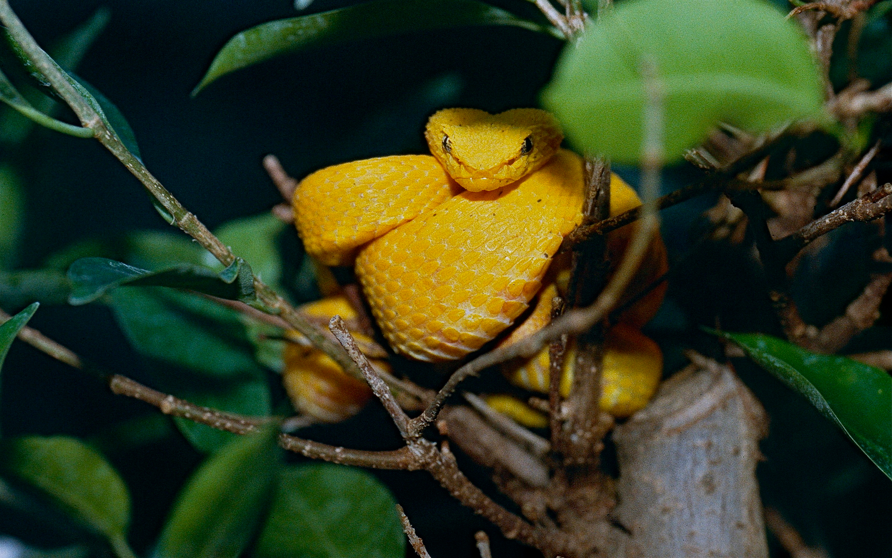 Fileeyelash Viper Bothriechis Schlegelii Oropel Phase