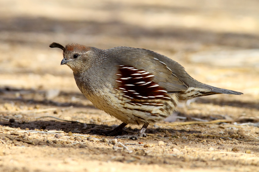 What Do Quails Eat For Food