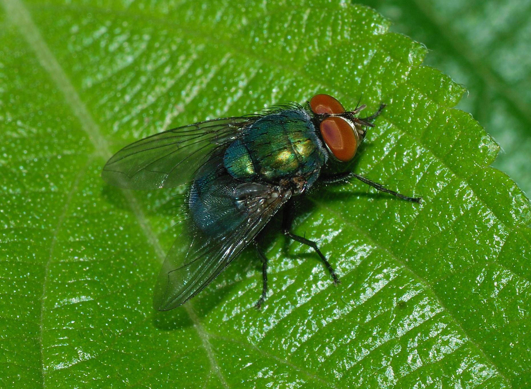 Chrysomya Albiceps Pdf