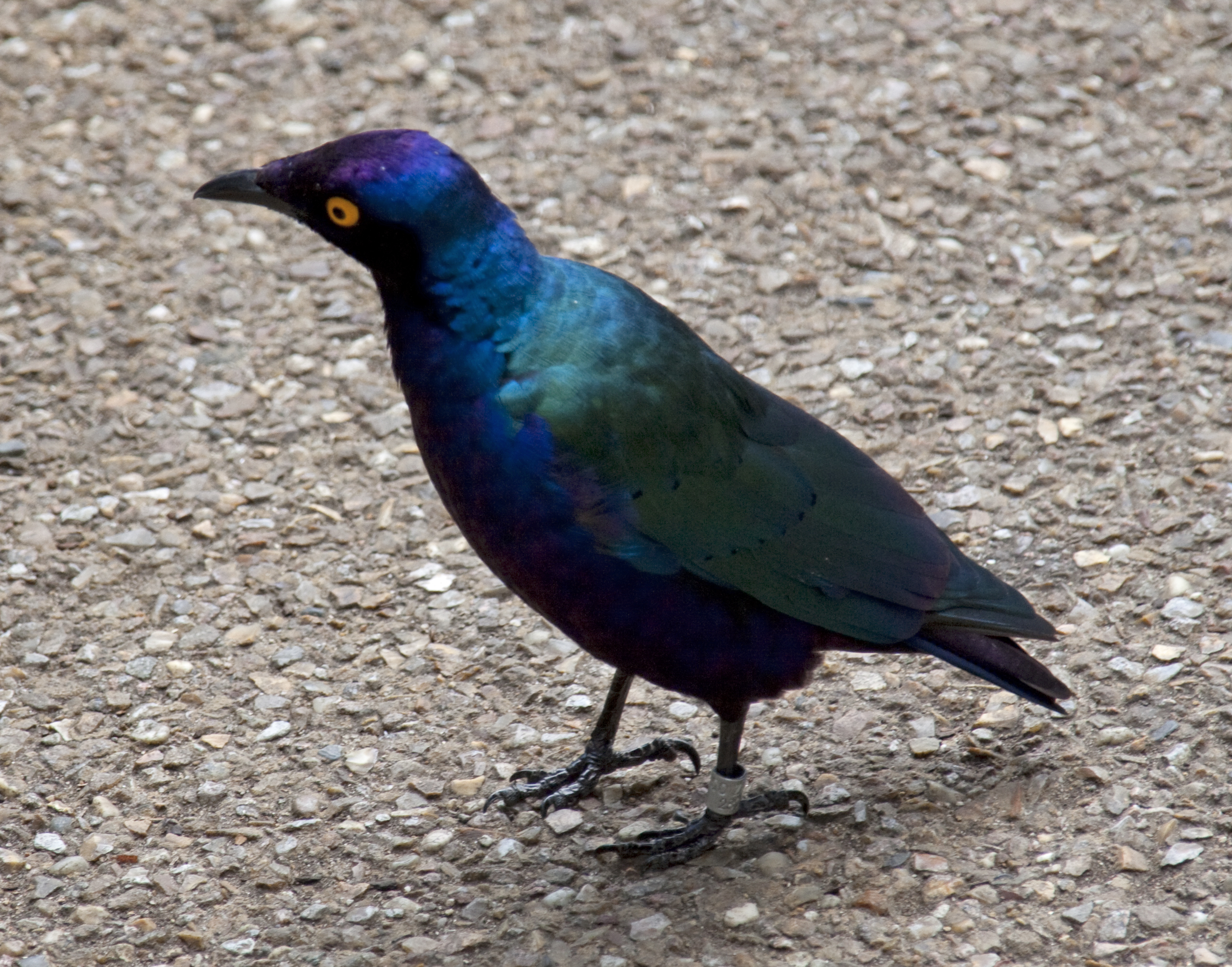 Http Commons Wikimedia Org Wiki File Glossy Starling Blue And Purple Bird 3 4872087117 Jpg