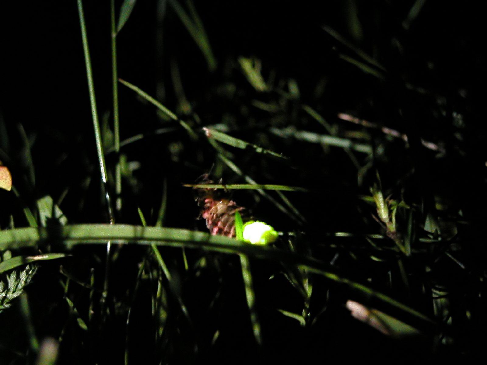 British glow-worm in long grass.