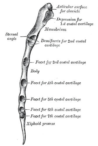 sternal angle - wikipedia, Human Body