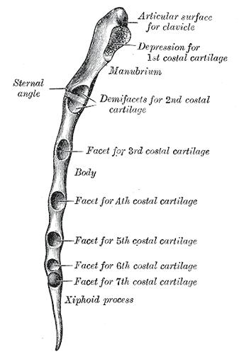 Apófisis xifoides - Wikiwand