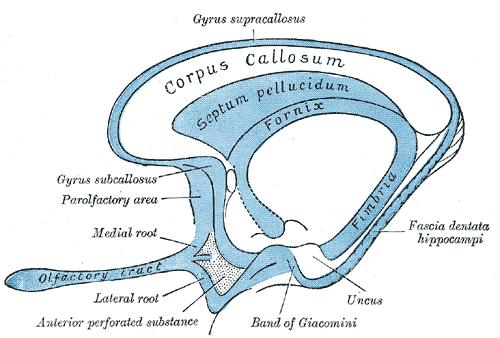 ILLUSTRATION : Gyrus supracallosal (Source : Wikipedia)