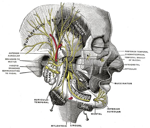 Mandibular nerve - Wikipedia