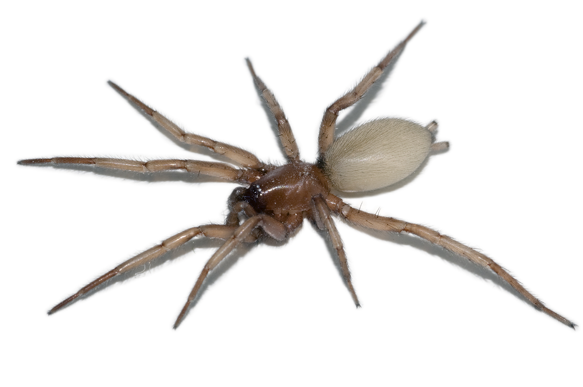 Image Result For Can Brown Recluse